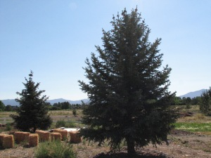 The two trees that got the ball rolling for Heritage Park Gardens.