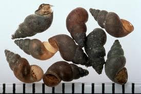 Photo courtesy of NDOW New Zealand Mud Snails