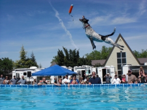 Photo courtesy of Heather Paterson-Lewis Oreo competes in a dog dock jumping competition in Chico.