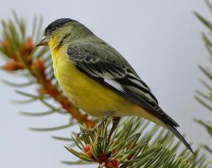 Lesser Goldfinch by John Humphrey