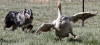 Photo by Cynthia S. Kennedy  Pepper herds a reluctant goose at NNASC's recent Stock Dog trial.